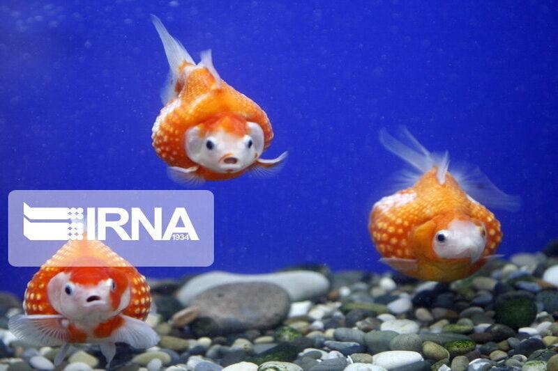 تصویر ۱۷ میلیون قطعه ماهی زینتی در کاشان تولید شد