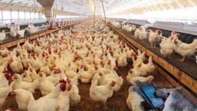 تصویر ۲۵ درصد ظرفیت تولید مرغ تخم گذار کاشان غیرفعال است