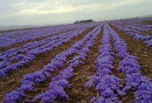تصویر 2500 کیلوگرم کُلاله خشک زعفران از مزارع نطنز برداشت میشود