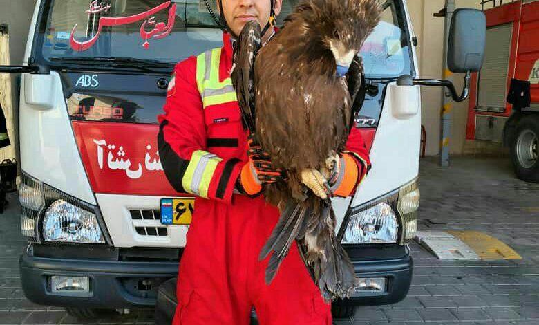 زنده گیری عقاب در کاشان توسط آتش نشانان کاشانی